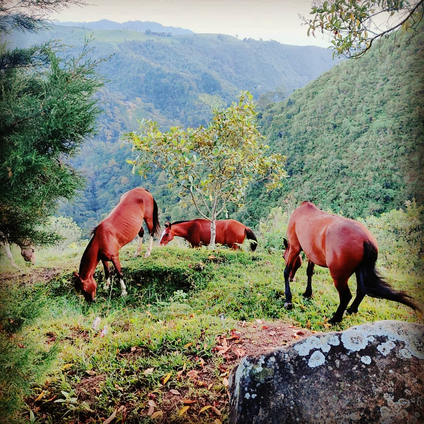 #Strolling #horse taking in the views. #Horses At ease... ⠀ #Salento at the heart of coffee triangle. North of the #Andes The source of 'one' of Colombia's most famous global exports. ⠀ ☘️ #Quarantined #Comewalkwithme #Thegrassisalwaysgreener de-tour. ⠀ 🏞️,⛰️ #mountain #mountainview #nature #viewpoint #viewpoint #vistas #vista #landscape #views #rollinghills #countryside #escapethecity ⠀ ️ #blueskies #sunnydays ⠀ 🇨🇴🇨🇴🇨🇴 #Colombiacalling Peace love & #adventures from #Colombia #travel #wanderlust #globetrotting #globetrekker #digitalnomad